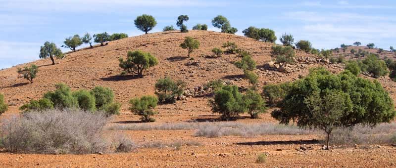 Argan plantage i Marokko