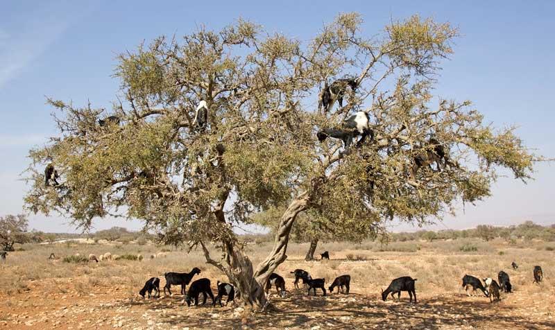 Geder i et argantræ